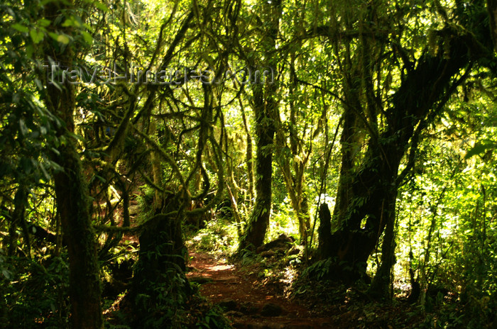 tanzania30: Tanzania - Kilimanjaro NP: Marangu Route - day 1 - tropical vegetation, in the rainforest - photo by A.Ferrari - (c) Travel-Images.com - Stock Photography agency - Image Bank