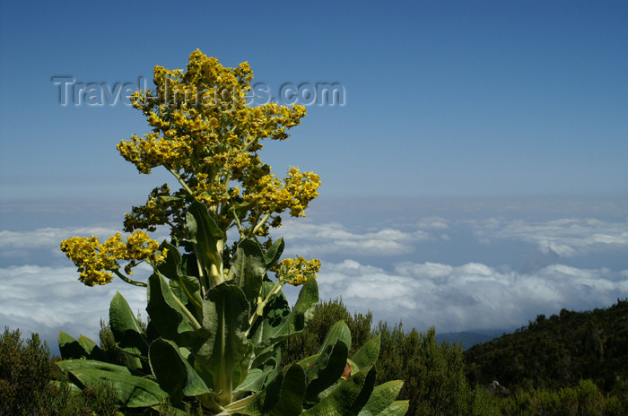 tanzania41: Tanzania - Kilimanjaro NP: Marangu Route - day 2 - a colourful flower in the moorlands - photo by A.Ferrari - (c) Travel-Images.com - Stock Photography agency - Image Bank