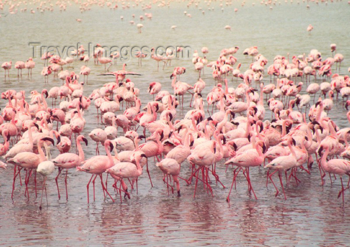 tanzania5: Tanzania - Tanganyika - Ngorongoro crater: flamingos - photo by N.Cabana - (c) Travel-Images.com - Stock Photography agency - Image Bank