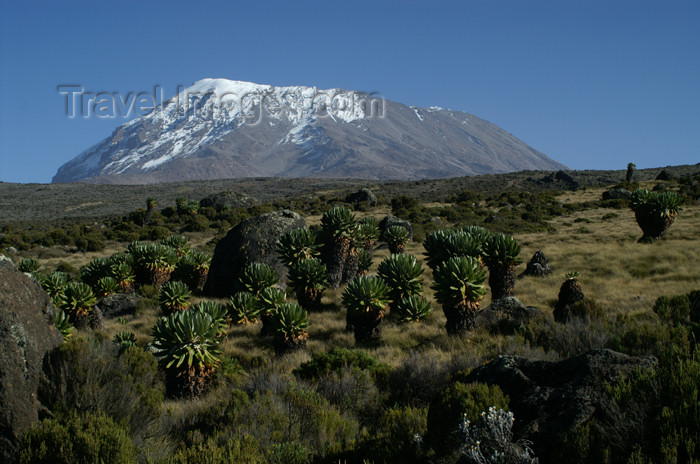 tanzania55: Tanzania - Kilimanjaro NP: Marangu Route - day 4 - Mount Kilimanjaro, Kibo and giant groundsels - photo by A.Ferrari - (c) Travel-Images.com - Stock Photography agency - Image Bank