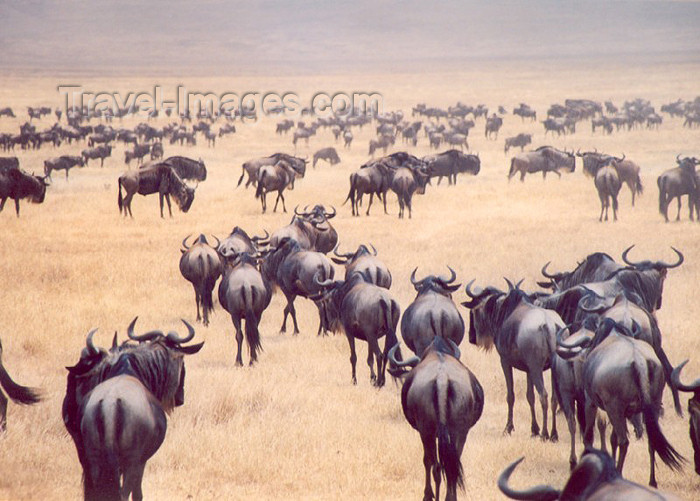tanzania6: Africa - Tanzania - Tanganyika - Serengeti National Park: the great migrations of the gnus / wildebeest - photo by N.Cabana - (c) Travel-Images.com - Stock Photography agency - Image Bank