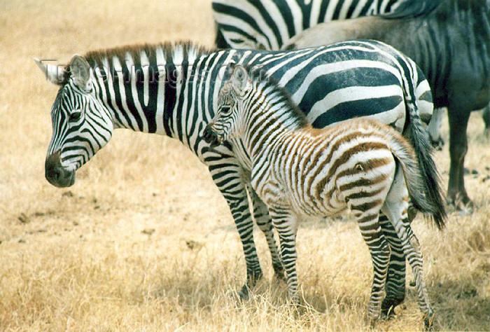 tanzania7: Tanzania - Tanganyika - Serengeti National Park: zebras - mother and son - photo by N.Cabana - (c) Travel-Images.com - Stock Photography agency - Image Bank