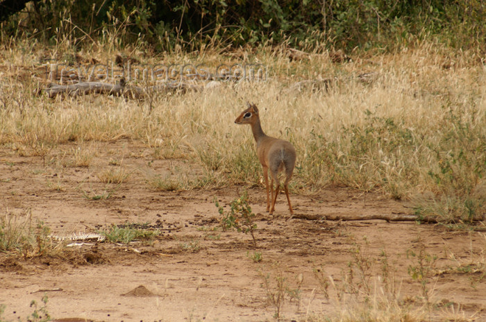tanzania91: Tanzania - Dik-dik antelope, Madoqua kirkii - in Lake Manyara National Park - photo by A.Ferrari - (c) Travel-Images.com - Stock Photography agency - Image Bank
