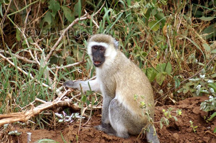 tanzania92: Tanzania - Vervet Monkey, Chlorocebus pygerythrus - in Lake Manyara National Park - photo by A.Ferrari - (c) Travel-Images.com - Stock Photography agency - Image Bank