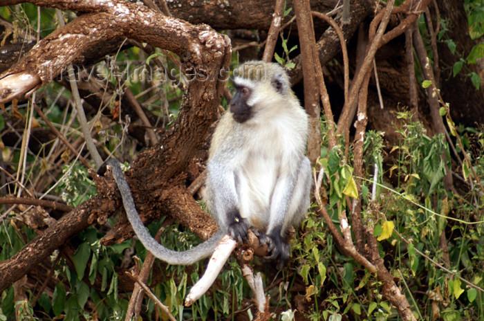 tanzania93: Tanzania - Vervet Monkey on branches, Chlorocebus pygerythrus - in Lake Manyara National Park - photo by A.Ferrari - (c) Travel-Images.com - Stock Photography agency - Image Bank