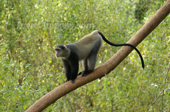 tanzania98: Tanzania - Blue Monkey or Diademed Monkey, Cercopithecus mitis - in Lake Manyara National Park - photo by A.Ferrari - (c) Travel-Images.com - Stock Photography agency - Image Bank