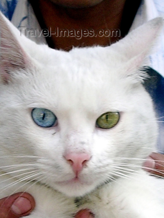 turkey138: Turkey - Istanbul / Constantinople / IST: a cat from from Van with different eye colors - photo by R.Wallace - (c) Travel-Images.com - Stock Photography agency - Image Bank