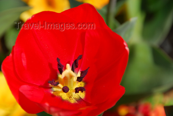 turkey464: Istanbul, Turkey: red tulip - Aksaray - Fatih District - photo by M.Torres - (c) Travel-Images.com - Stock Photography agency - Image Bank