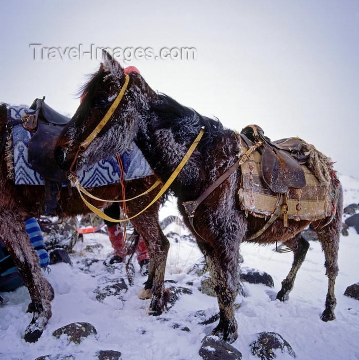 turkey541: Mount Ararat, Agri Province, East Anatolia, Turkey: snow covered donkeys - load animals - base camp - mountaineering - photo by W.Allgöwer - (c) Travel-Images.com - Stock Photography agency - Image Bank