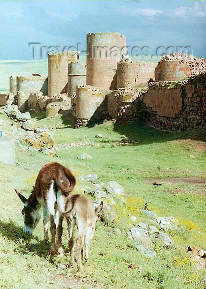 turkey62: Ani, Kars province, Eastern Anatolia, Turkey: walls of the Armenian Bagratid kingdom - donkey - photo by G.Frysinger - (c) Travel-Images.com - Stock Photography agency - Image Bank