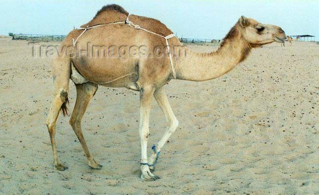 uaefj6: UAE - Al Fujairah: a hobbled camel - photo by G.Frysinger - (c) Travel-Images.com - Stock Photography agency - Image Bank