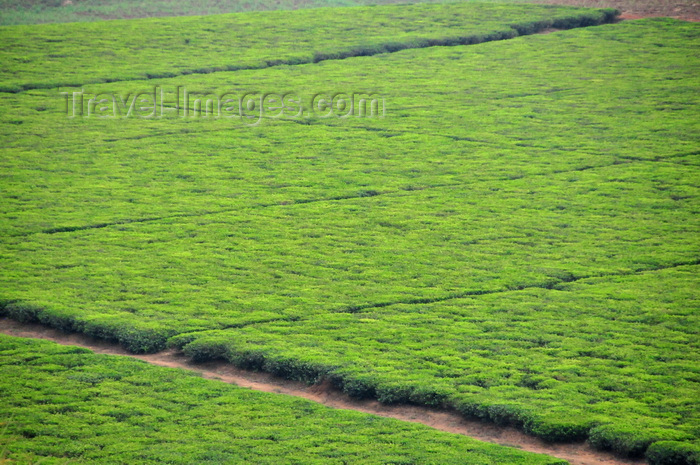 uganda13: Lugazi, Buikwe District, Uganda: tea plantation from above - green fields with hedgerows of the Camellia sinensis plant - photo by M.Torres - (c) Travel-Images.com - Stock Photography agency - Image Bank
