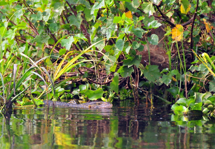 uganda136: Jinja, Uganda: Nile Monitor Lizard swimming amid vegetation in Lake Victoria at the source of the Nile river (Varanus niloticus) - photo by M.Torres - (c) Travel-Images.com - Stock Photography agency - Image Bank