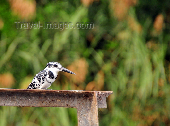 uganda137: Jinja, Uganda: pied kingfisher perched on a metal structure, looking at the Nile river (Ceryle rudis) - photo by M.Torres - (c) Travel-Images.com - Stock Photography agency - Image Bank