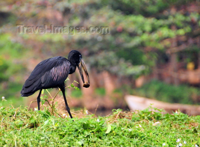 uganda139: Jinja, Uganda: African openbill carries a fruit (Anastomus lamelligerus) - source of the Nile river - photo by M.Torres - (c) Travel-Images.com - Stock Photography agency - Image Bank