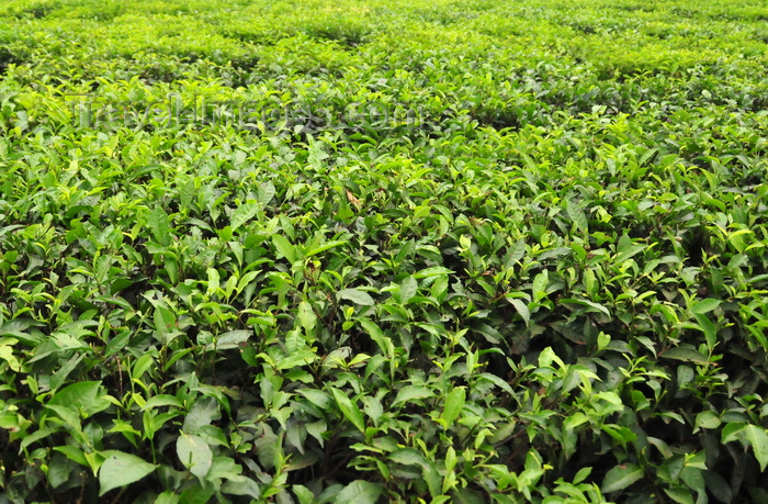 uganda14: Lugazi, Buikwe District, Uganda: tea plantation - green fields of the Camellia sinensis plant - photo by M.Torres - (c) Travel-Images.com - Stock Photography agency - Image Bank