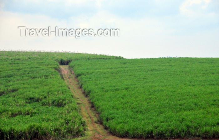 uganda15: Lugazi, Buikwe District, Uganda: sugar cane plantation and dirt road - photo by M.Torres - (c) Travel-Images.com - Stock Photography agency - Image Bank