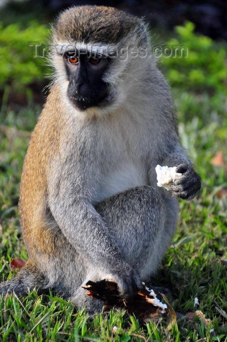 uganda162: Entebbe, Wakiso District, Uganda: Vervet monkey eating (Chlorocebus pygerythrus) - photo by M.Torres - (c) Travel-Images.com - Stock Photography agency - Image Bank