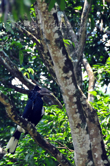 uganda171: Entebbe, Wakiso District, Uganda: female Black-and-white Casqued Hornbill on a tree - Bycanistes subcylindricus, also known as the grey-cheeked hornbill - Entebbe botanical gardens, Manyago area - photo by M.Torres - (c) Travel-Images.com - Stock Photography agency - Image Bank
