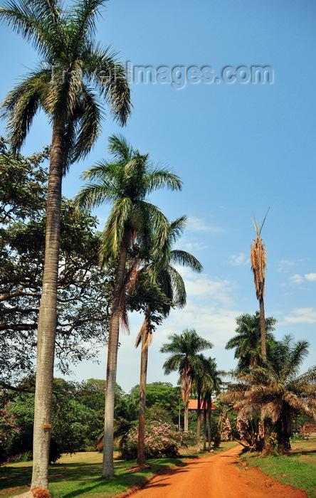 uganda173: Entebbe, Wakiso District, Uganda: Entebbe botanical gardens, Manyago area - dirt road flanked by coconut trees - photo by M.Torres - (c) Travel-Images.com - Stock Photography agency - Image Bank
