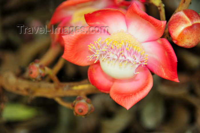 uganda175: Entebbe, Wakiso District, Uganda: Couroupita Guianensis tree - showy, scented  flower with two genders - Cannonball tree - Entebbe botanical gardens, Manyago area - photo by M.Torres - (c) Travel-Images.com - Stock Photography agency - Image Bank