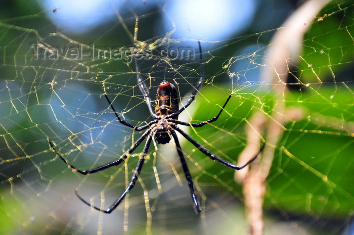 uganda177: Entebbe, Wakiso District, Uganda: female Golden silk orb-weaver spider in its web (Nephila), known locally as dragon spider - Entebbe botanical gardens, Manyago area - photo by M.Torres - (c) Travel-Images.com - Stock Photography agency - Image Bank