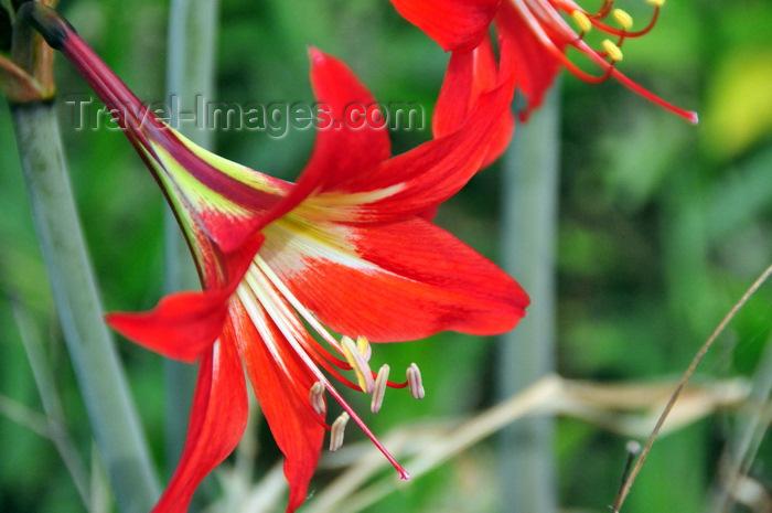 uganda183: Entebbe, Wakiso District, Uganda: hibiscus like flower at  Entebbe botanical gardens, Manyago area - photo by M.Torres - (c) Travel-Images.com - Stock Photography agency - Image Bank