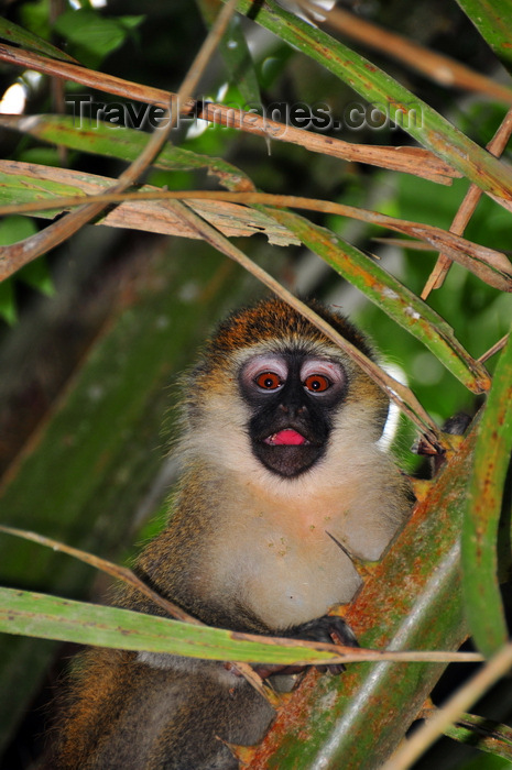 uganda185: Entebbe, Wakiso District, Uganda: Vervet monkey hiding in a palm-tree (Chlorocebus pygerythrus) -  Entebbe botanical gardens, Manyago area - photo by M.Torres - (c) Travel-Images.com - Stock Photography agency - Image Bank