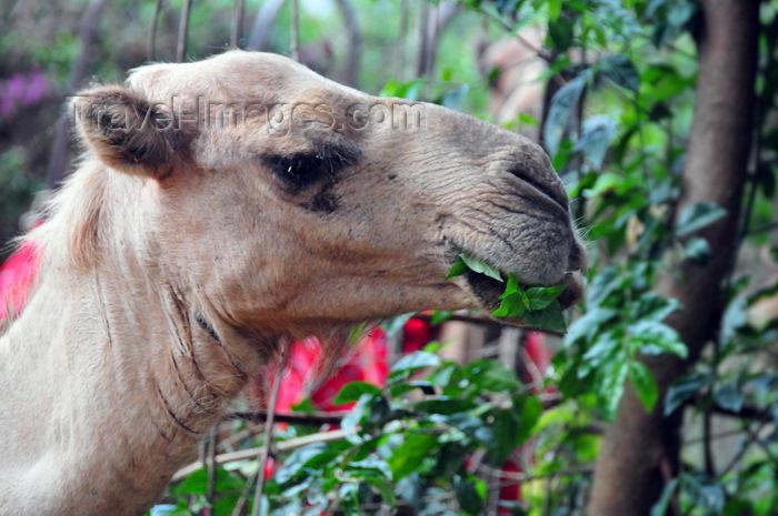 uganda190: Entebbe, Wakiso District, Uganda: Dromedary camel, Camelus dromedarius - head close-up while feeding on tree leaves - photo by M.Torres - (c) Travel-Images.com - Stock Photography agency - Image Bank