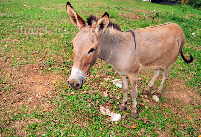 uganda191: Entebbe, Wakiso District, Uganda: donkey staring - Equus africanus asinus- photo by M.Torres - (c) Travel-Images.com - Stock Photography agency - Image Bank