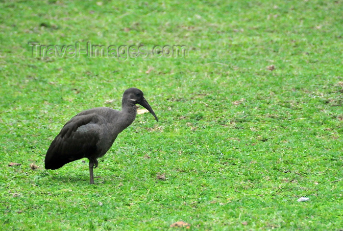 uganda192: Entebbe, Wakiso District, Uganda: Hadada Ibis foraging on a lawn - aka Worm eater (Bostrychia hagedash) - photo by M.Torres - (c) Travel-Images.com - Stock Photography agency - Image Bank