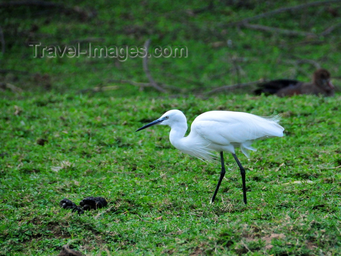 uganda194: Entebbe, Wakiso District, Uganda: Little egret (Egretta garzetta) foraging for food - photo by M.Torres - (c) Travel-Images.com - Stock Photography agency - Image Bank