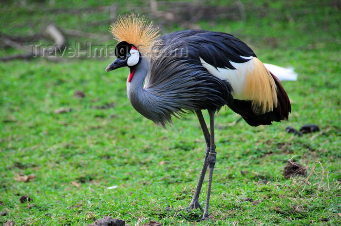 uganda195: Entebbe, Wakiso District, Uganda: Grey Crowned Crane - Balearica regulorum gibbericeps - know for their crown of golden feathers and art of Uganda's coat of arms - photo by M.Torres - (c) Travel-Images.com - Stock Photography agency - Image Bank