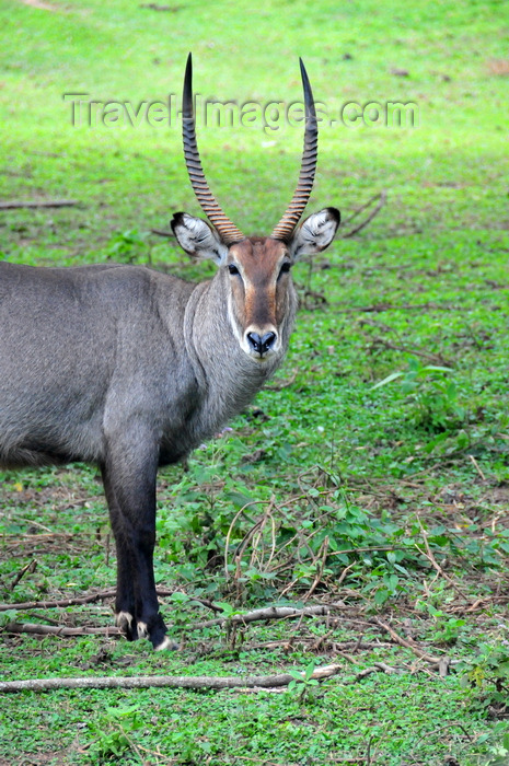 uganda196: Entebbe, Wakiso District, Uganda: male waterbuck staring - large horned antelope (Kobus ellipsiprymnus) - photo by M.Torres - (c) Travel-Images.com - Stock Photography agency - Image Bank