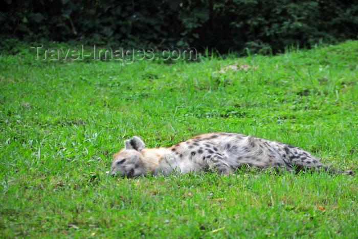 uganda198: Entebbe, Wakiso District, Uganda: spotted hyena (Crocuta crocuta) resting - photo by M.Torres - (c) Travel-Images.com - Stock Photography agency - Image Bank