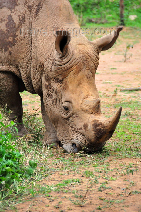 uganda199: Entebbe, Wakiso District, Uganda: northern white rhinoceros (Ceratotherium simum cottoni) - head detail - photo by M.Torres - (c) Travel-Images.com - Stock Photography agency - Image Bank