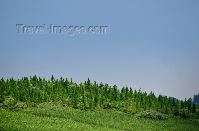 uganda20: Lugazi, Buikwe District, Uganda: some forest still grows above the limit of the sugar cane plantations - deforestation of Africa for cash crops - photo by M.Torres - (c) Travel-Images.com - Stock Photography agency - Image Bank