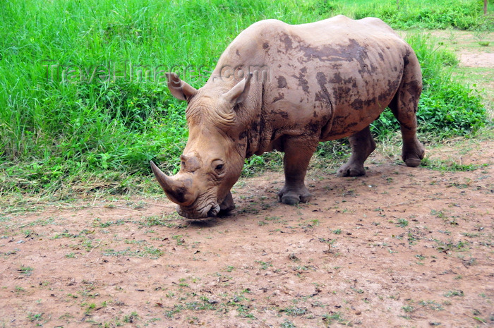 uganda200: Entebbe, Wakiso District, Uganda: northern white rhinoceros (Ceratotherium simum cottoni) - photo by M.Torres - (c) Travel-Images.com - Stock Photography agency - Image Bank