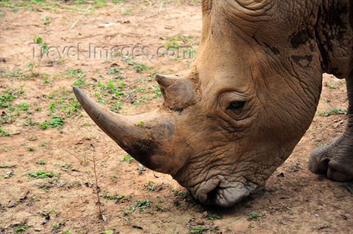 uganda201: Entebbe, Wakiso District, Uganda: northern white rhinoceros, the horn (Ceratotherium simum cottoni) - photo by M.Torres - (c) Travel-Images.com - Stock Photography agency - Image Bank
