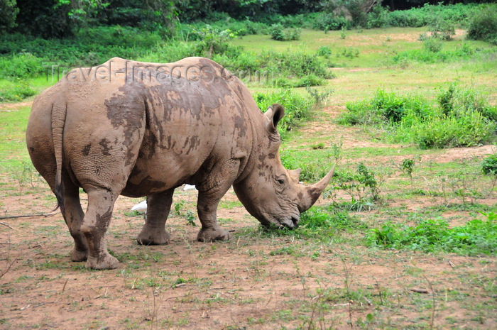 uganda202: Entebbe, Wakiso District, Uganda: northern white rhinoceros grazing (Ceratotherium simum cottoni) - photo by M.Torres - (c) Travel-Images.com - Stock Photography agency - Image Bank