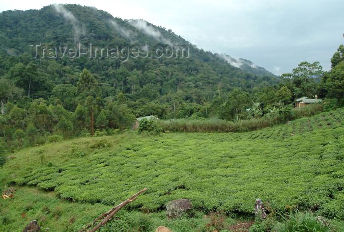 uganda23: Uganda - Kabarole District - south-west Uganda - Ugandan tea fields - tea plantations (photo by Jordan Banks) - (c) Travel-Images.com - Stock Photography agency - Image Bank