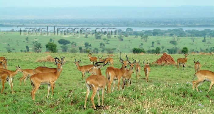 uganda28: Uganda - Impala on the banks of the Nile (photo by Jordan Banks) - (c) Travel-Images.com - Stock Photography agency - Image Bank