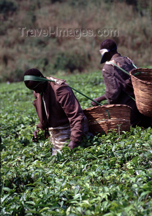 uganda37: Uganda - Fort Portal, Kabarole district - workers at a tea plantation - photos of Africa by F.Rigaud - (c) Travel-Images.com - Stock Photography agency - Image Bank