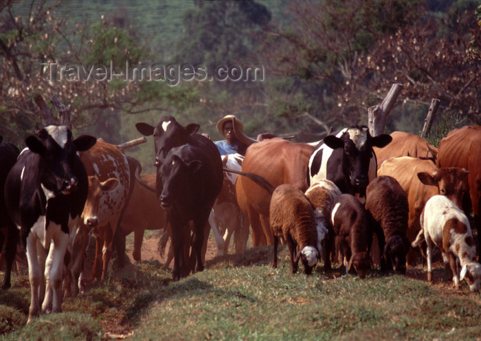 uganda40: Uganda - Kyarusozi - Kyenjojo - cow herd - photos of Africa by F.Rigaud - (c) Travel-Images.com - Stock Photography agency - Image Bank