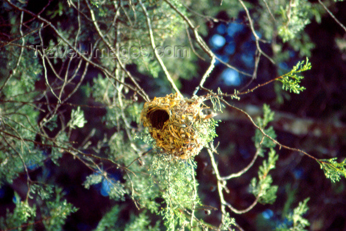 uganda48: Uganda - Uganda: weaver bird's nest - photo by F.Rigaud - (c) Travel-Images.com - Stock Photography agency - Image Bank