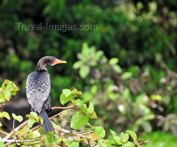 uganda50: Jinja, Uganda: a cormorant perched on a tree branch scans the river Nile for food - photo by M.Torres - (c) Travel-Images.com - Stock Photography agency - Image Bank