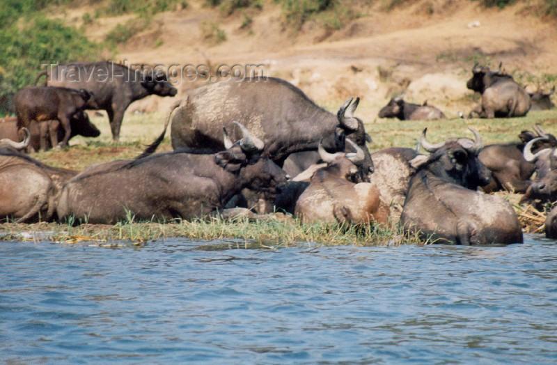 uganda8: Uganda - Queen Elizabeth National park: Kazinga channel - buffaloes bathing (photo by Nacho Cabana) - (c) Travel-Images.com - Stock Photography agency - Image Bank