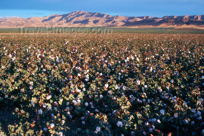 usa843: California: Cotton field - agriculture - photo by J.Fekete - (c) Travel-Images.com - Stock Photography agency - Image Bank