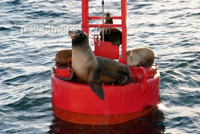 usa93: USA - Long Beach (California): sea lions on a signaling buoy (photo by C.Palacio) - (c) Travel-Images.com - Stock Photography agency - Image Bank