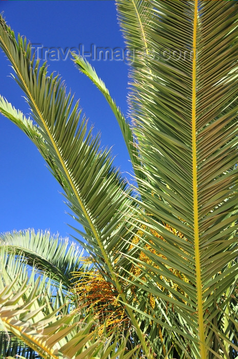 western-sahara4: Laâyoune / El Aaiun, Saguia el-Hamra, Western Sahara: palm leaves - Blvd Hadji Baba Ahmed - photo by M.Torres - (c) Travel-Images.com - Stock Photography agency - Image Bank